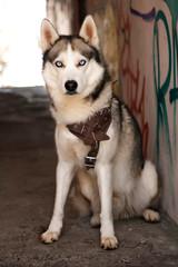 Young Husky on city