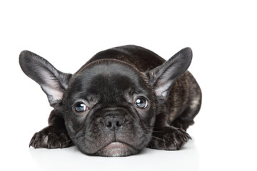 French bulldog puppy lies on a white background