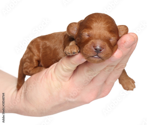 Little puppy (one week) in hand over white background