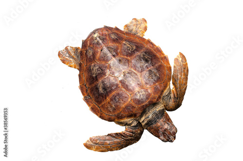 Loggerhead water turtle