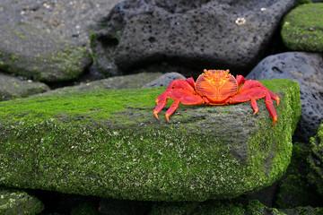 Sally Lightfoot Crab (Graspus Graspus)