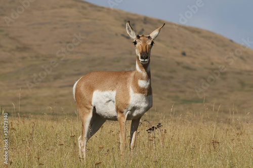 Pronghorn Doe