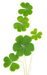 Shamrocks, three leafed clovers isolated on white