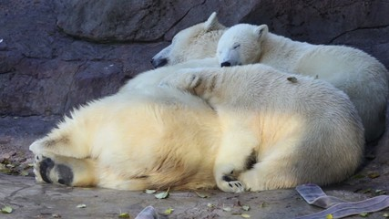 polar bears at zoo lay and sleep close to each other