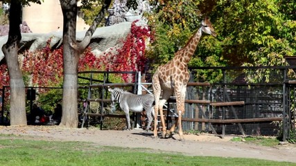 Giraffe and zebra in pen zoo, walk by grass