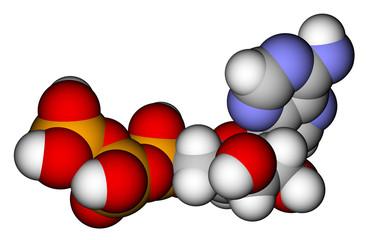 Adenosine triphosphate (ATP) space filling molecular model