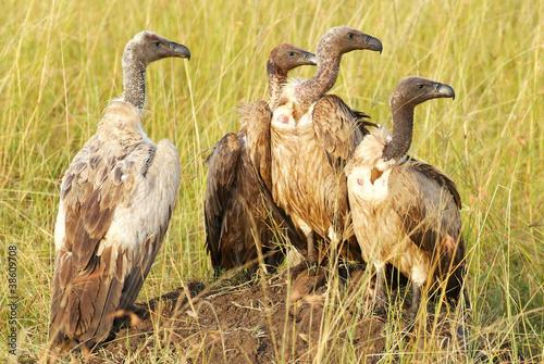Papiers peints Hyène Vultures