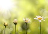 Fototapety Croissance d'une pâquerette, fond nature et soleil