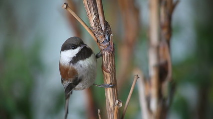 chestnut-backed chickadee watches the camera