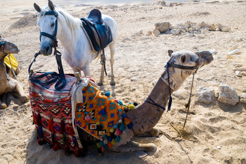 Tucking up camels with standing arab horse in Egypt
