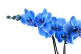 Fototapety Orchidée Bleue