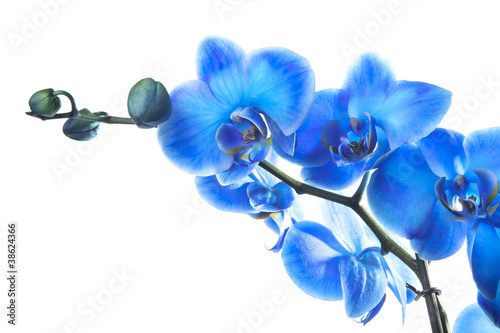 Fototapeten,orchidee,blau,blume,schönheit