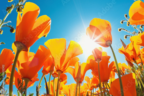 Foto op Canvas Poppy Beautiful Spring Flowers