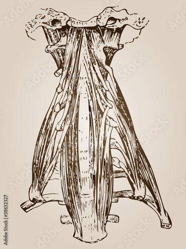 High resolution vintage anatomy sketch drawing