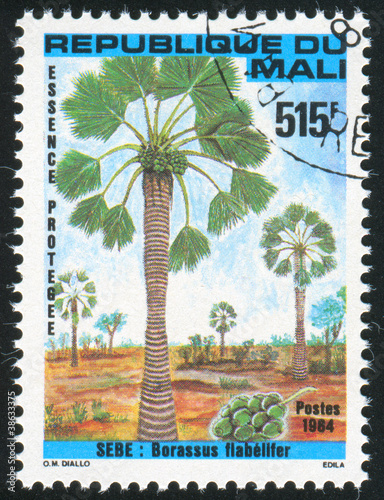 Palmyra palm
