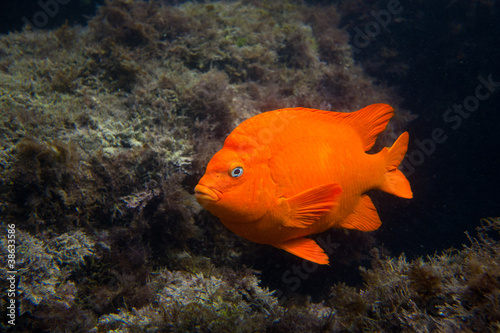 Garibaldi in the Ocean in Southern California