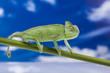 Chameleon on the blue sky