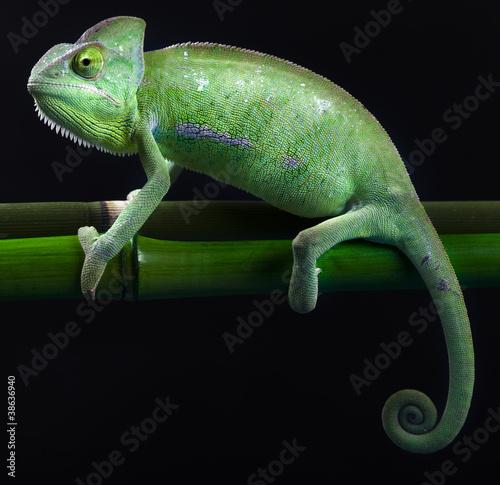 Foto op Canvas Kameleon Chameleon