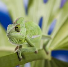 Chameleon on the leaf