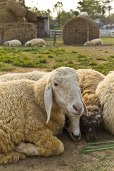 Livestock farm, herd of sheep