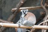 Beautiful lemur