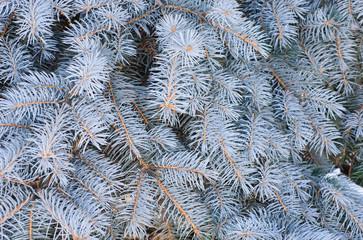 Blue Spruce  branch  background