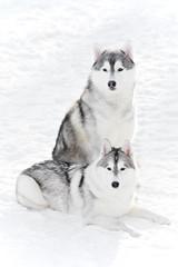 pair of siberian husky dog at winter