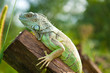 green iguana on the log