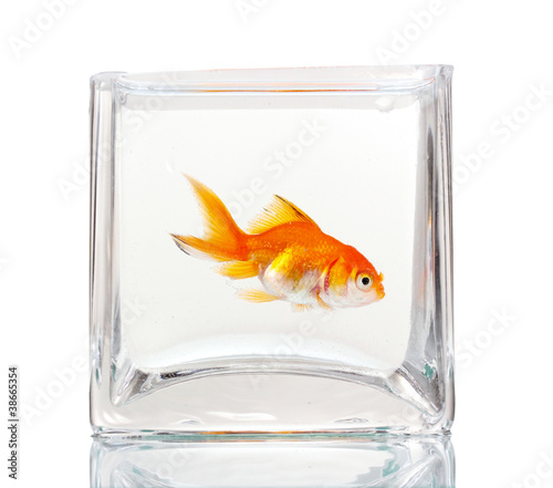 Goldfish in aquarium isolated on white