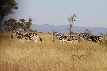 zebra on a row
