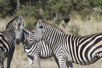 zebra meeting