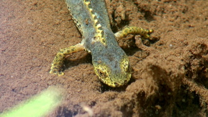 salamander in water