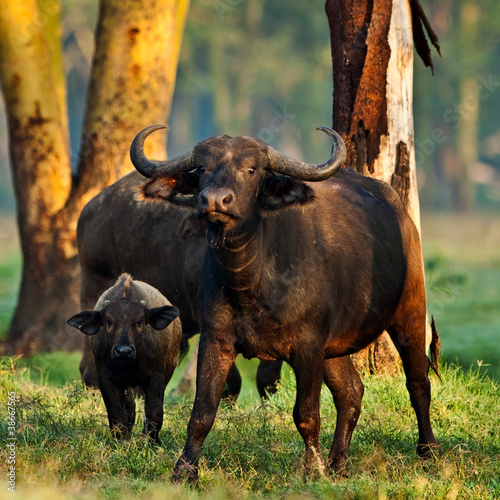 African buffalos in the Lake Nakuru National Park - Kenya