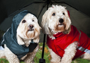 Dressed up dogs under umbrella