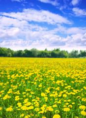 Summer landscape with dandelions meadow