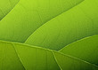 Green Leaf Texture. Vector Bac...