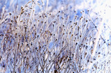 Fototapety herbaceous plants covered with frost
