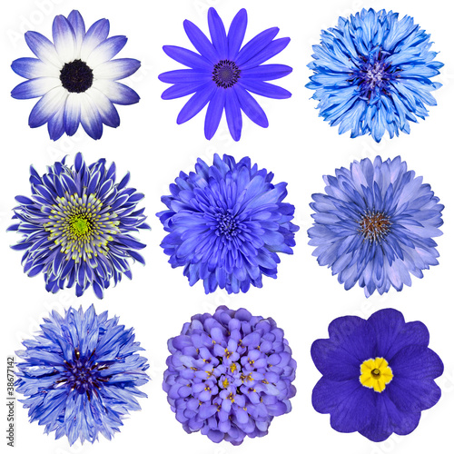 Foto op Aluminium Dahlia Various Blue Flowers Selection Isolated on White