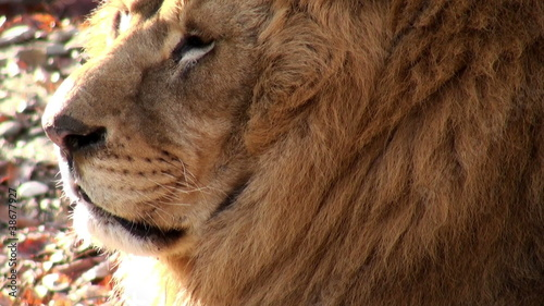 distinctive lion