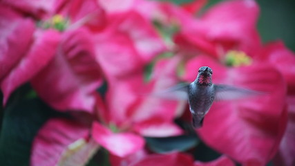 hummingbird in Christmas poinsettias