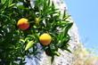 reife Orangen