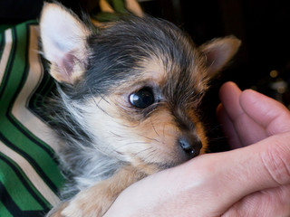 Chihuahua Yorkshire Terrier Hybrid