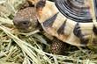 Griechische Landschildkröte auf Heu