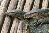 water monitor lizard (varanus salvator) poster