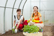 Two women planting tomato spouts