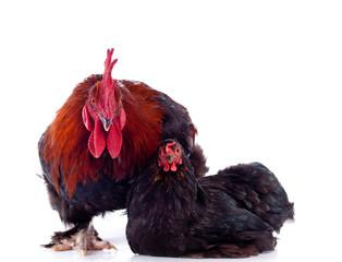 duo - coq et poule
