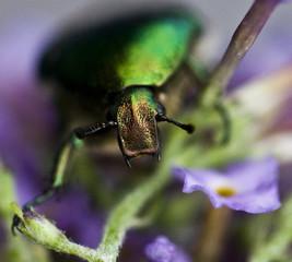 tree-beetle