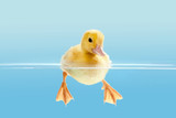 Duckling swimming for the first time