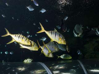 shoal of Pilotfish (Naucrates ductor)