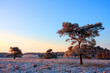 Scots Pine on snowy heath at sunrise